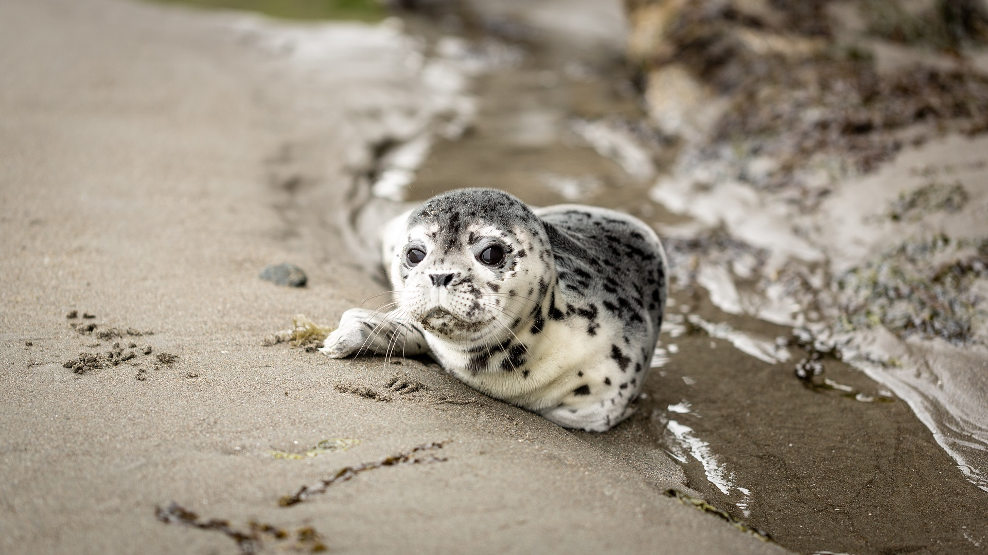 Seal pup rescued at Delaware's Cape Henlopen State Park